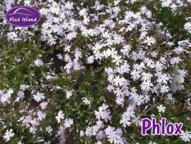 alpines-phlox