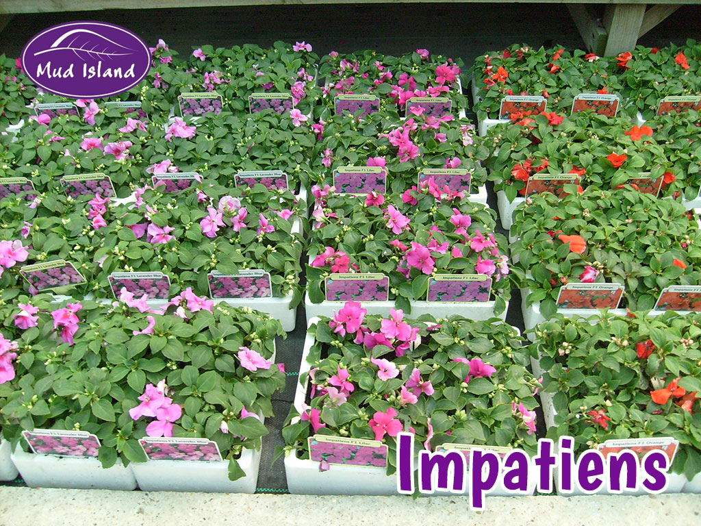 Bedding plants Mud Island Garden Centre