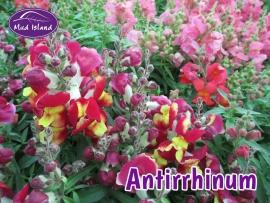 bedding-antirrhinum
