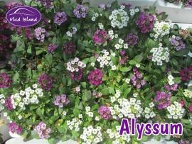 bedding-plants-alyssum