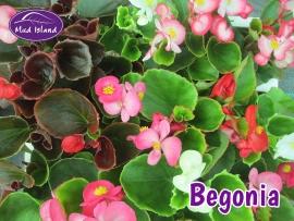 bedding-plants-begonia