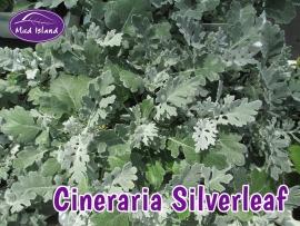 bedding-plants-cineraria-silverleaf