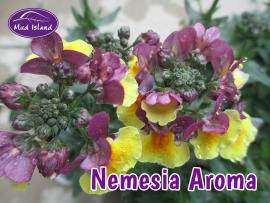 bedding-plants-nemesia-aroma