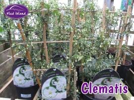 climbers-clematis-1