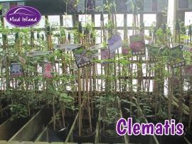 climbers-clematis-2