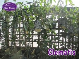 climbers-clematis-3