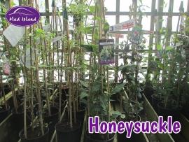 climbers-honeysuckle
