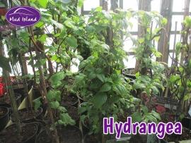 climbers-hydrangea
