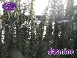 climbers-jasmine