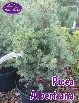 conifers-picea-albertiana