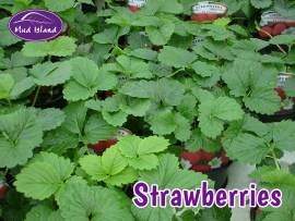 fruit-and-vegetable-plants-strawberries