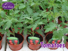fruit-and-vegetable-plants-tomatoes