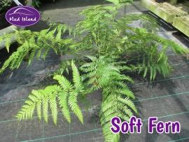hardy-fern-soft-fern