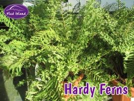 hardy-ferns-1
