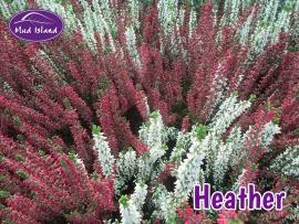 heather-1