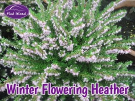 heather-winter-flowering-5