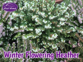 heather-winter-flowering-6