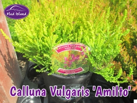 heathers-calluna-vulgaris-amilto