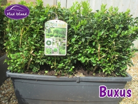 hedging-buxus