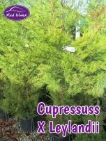 hedging-cupressus-x-leylandii