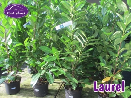 hedging-laurel