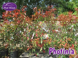 hedging-photinia