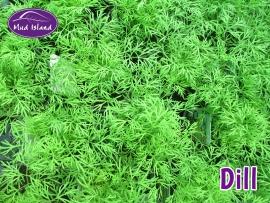 herbs-dill