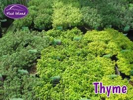 herbs-thyme