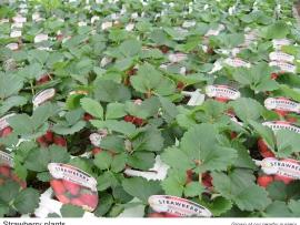 13-strawberry-plants