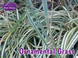 ornamental-grasses-1