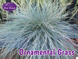 ornamental-grasses-4