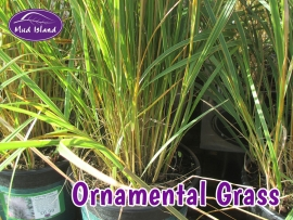 ornamental-grasses-6