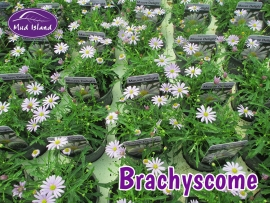 patio-and-basket-plants-brachyscome