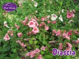patio-and-basket-plants-diascia