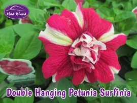 patio-and-basket-plants-double-hanging-petunia-surfinia