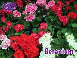 patio-and-basket-plants-geranium
