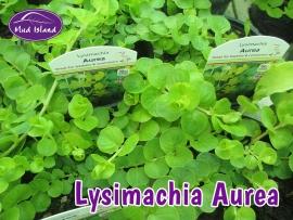 patio-and-basket-plants-lysimachia-aurea