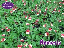 patio-and-basket-plants-nemesia