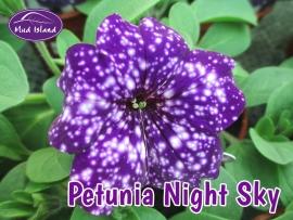 patio-and-basket-plants-petunia-Night-Sky