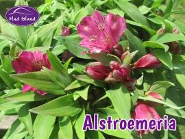 perennials-alstroemeria-1