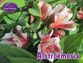 perennials-alstroemeria-2