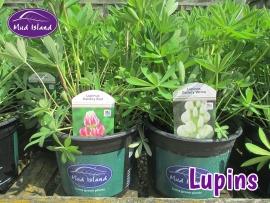 perennials-lupins