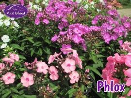 perennials-phlox