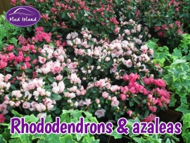rhododendrons-amd-azaleas-2