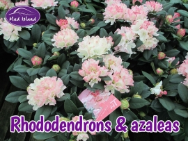 rhododendrons-amd-azaleas-4