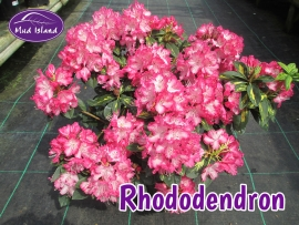 rhododendrons-and-azaleas-1