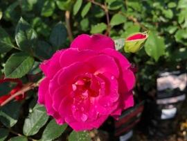 roses-2