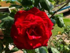 roses-4