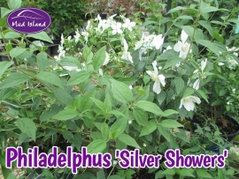 shrub-philadelphus-silver-showers