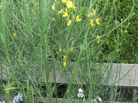 shrub-spartium-junceum